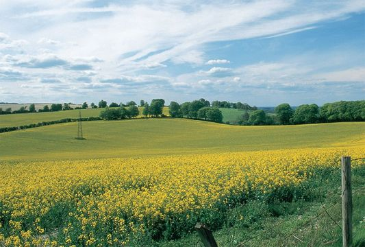 Spring blooms rape swaddle Hampshire's North Downs in a golden blanket.