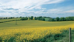 Thumb spring blooms rape swaddle hampshire s north downs in a golden blanket   jim hargan