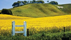 The Cherhill White Horse, above the flowering rape field, is a familiar sight along the A4 between Marlborough and Chippenham.