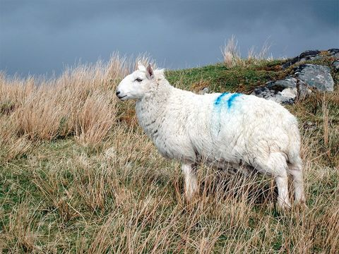 Cheviot sheep, adapted to the rugged life of the Outer Hebrides, provide the wool for Harris Tweed.