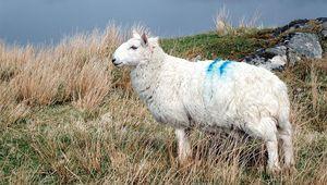 Thumb sheep how tweed  island via forbes inglis
