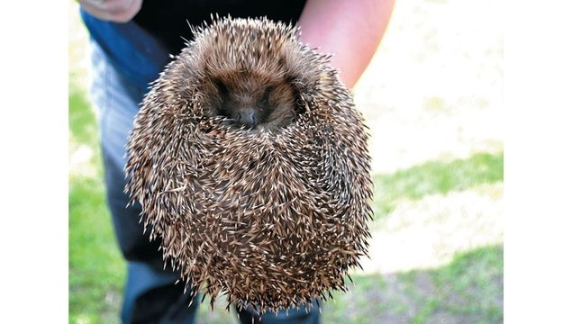Even hedgehogs have medical conditions