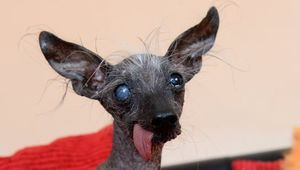 Thumb_chase_the_world_s_ugliest_dog_