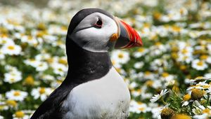 An Atlantic Puffin on Skomer Island, Pembrokeshire..