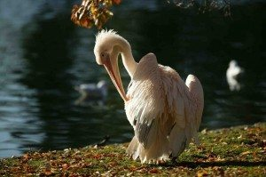 Pelican PHOTO Royal Parks © Anne Marie Briscombe